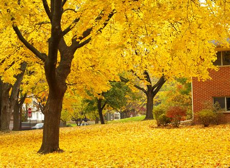 yellow maple tree with leaves covering the ground. Stock Photo - 2068728