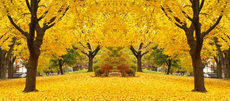 yellow maple tree landscapes with bright yellow leaves covering the ground all over. photo
