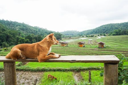 Dog sitting on a bench, Rice field and homestay background, Friendly. Stockfoto