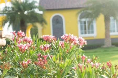 Pink flowers and yellow house, beautiful evening sun.