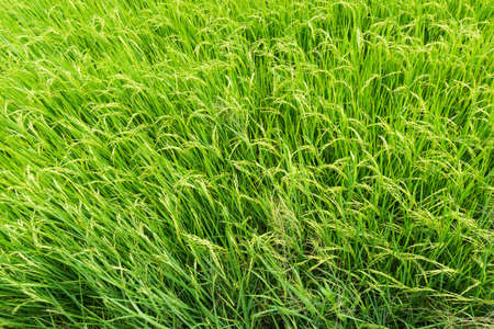 Beautiful Organic green paddy field in Thailand.