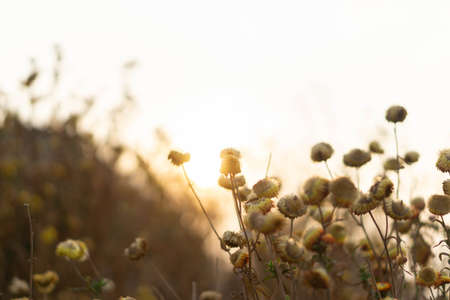 flowers vintage background, sunset with grass flowers.
