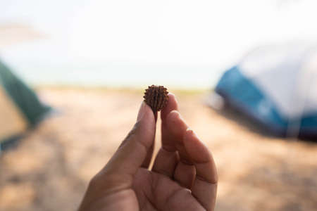 A pine cones in the woman's hand, tent Background, Pitch a tent on the beach vacation.