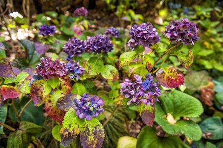 Colourful hydrangea flowers at botanic garden in Wellington, New Zealand Stock Photo