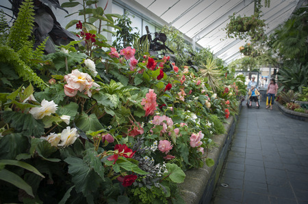 newzealand: Wellington, New Zealand - March 2, 2016: Visitors inspecting Begonia plants grown at Begonia House in Wellington, New Zealand