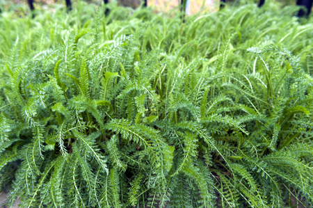 yarrow: Lush leaves of Common Yarrow (Achillea millefolium) grow in herbal garden