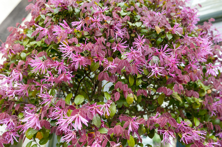 Red leaves and pink flowers of Loropetalum Chinese Fringe shrub plant during blossom season
