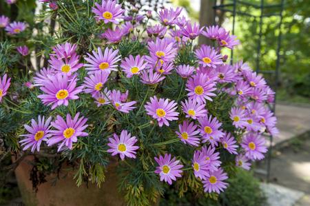 Flower pot of Aster cordifolius - pink flowers during blossom season in botanic garden