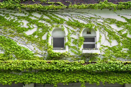 House wall and windows covered by climbing and creeping green ivy Stock Photo