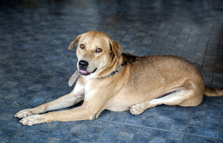 whine: Brown Thai mixed breed dog on blue floor looking at camera Stock Photo