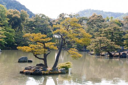 rokuonji: Pinus thunbergii or Japanese black pine growing on an islet near Kinkaku-ji or the Golden Pavilion Temple in Kyoto, Japan Stock Photo