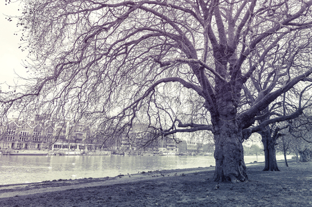 Big trees in the park at the Barge Walk by the River Thames opposite of the Riverside Walk promenade in Kingston upon Thames, United Kingdom, monochrome vintage style shot Stock Photo - 101909004