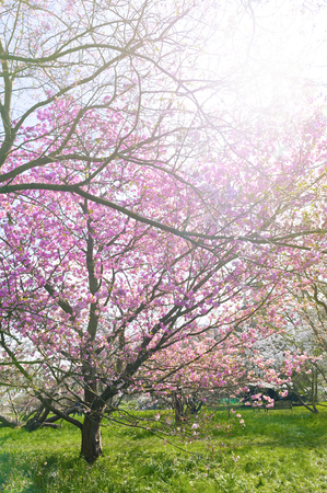 Blooming cherry blossom trees in the garden Stock Photo - 102441900