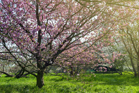 Blooming cherry blossom trees in the garden Stock Photo - 102527275