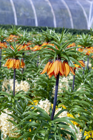 Sunset, Fritillaria imperialis (crown imperial, imperial fritillary or Kaiser's crown), a species of flowering plant in the lily family Stock Photo - 102498952