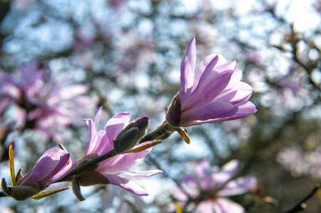 Flowering branches of Saucer magnolia (Magnolia x soulangeana), a hybrid plant in the genus Magnolia and family Magnoliaceae with large, early blooming flowers in various shades of white, pink, and purple Stock Photo - 102508845