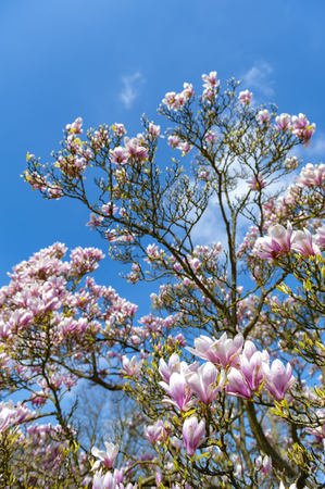 Flowering branches of Saucer magnolia (Magnolia x soulangeana), a hybrid plant in the genus Magnolia and family Magnoliaceae with large, early blooming flowers in various shades of white, pink, and purple Stock Photo - 102473331