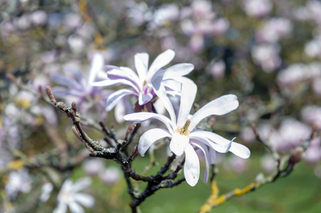 Flowering branches of Saucer magnolia (Magnolia x soulangeana), a hybrid plant in the genus Magnolia and family Magnoliaceae with large, early blooming flowers in various shades of white, pink, and purple Stock Photo - 102508846