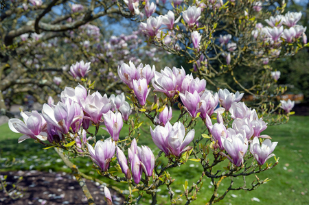 Flowering branches of Saucer magnolia (Magnolia x soulangeana), a hybrid plant in the genus Magnolia and family Magnoliaceae with large, early blooming flowers in various shades of white, pink, and purple Stock Photo - 102648040