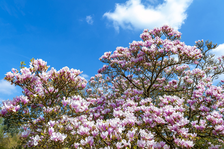 Flowering branches of Saucer magnolia (Magnolia x soulangeana), a hybrid plant in the genus Magnolia and family Magnoliaceae with large, early blooming flowers in various shades of white, pink, and purple Stock Photo - 102508847