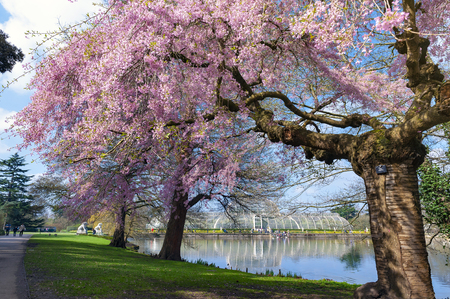 London, UK - April 2018: Blooming cherry blossom trees at Kew Gardens, a botanical garden in southwest London, England, houses the largest and most diverse botanical and mycological collections in the world Editorial