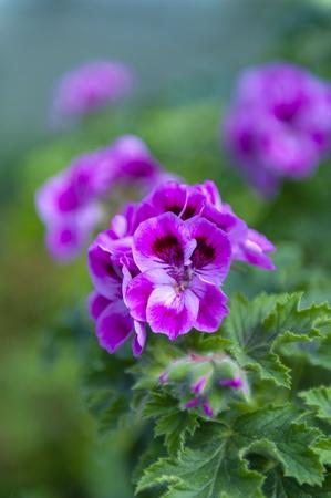 Purple pink flower of Pelargonium Olga Shipston in full bloom grown in a botanic garden Stock Photo - 102791650