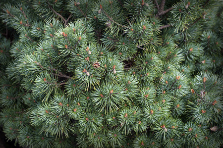Closeup of fir branches with little pinecones on pine needles as background ornament for Christmas and holiday decoration Stock Photo - 102771810
