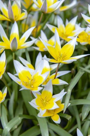 Tulipa Tarda (late tulip or tarda tulip) with inflorescence of yellow flowers in full bloom growing in a botanic garden