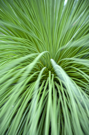 Close-up on leaves of Queretaro Yucca (Yucca queretaroensis, biconvex, denticulate-leaf), a plant species in the genus Yucca, family Asparagaceae, native to the Sierra Madre Occidental of the Mexican