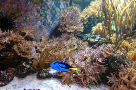 A popular coral reef fish in marine aquaria with common names, regal blue tang, palette surgeonfish, or hippo tang, an Indo-Pacific surgeonfish of Paracanthurus hepatus species with bright blue coloring, oval body and yellow flag-shaped tails