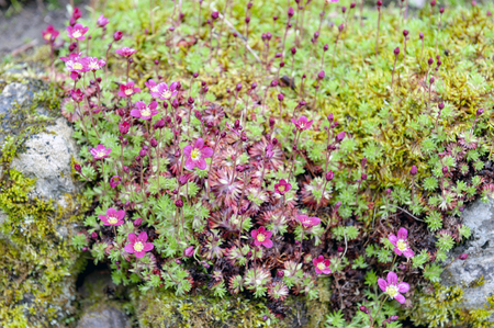 Saxifrage Mossy Pink with cup-shaped bright and soft-pink blossom flowers growing on wet mossy stones in a rock garden during spring