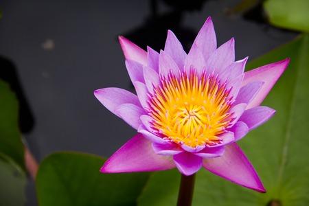 limbo: Pink Water Lily or lotus in Sakon Nakhon Thailand. Stock Photo