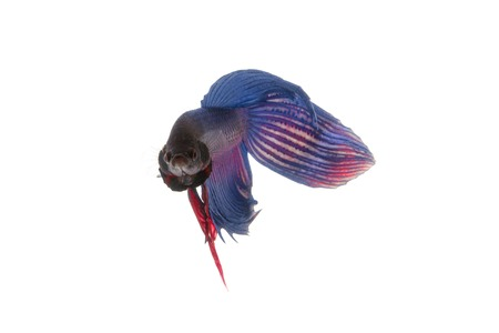 blue fish: Blue betta fish, siamese fighting fish isolated on white background Stock Photo