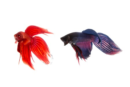 blue fish: Red and blue betta fish, siamese fighting fish isolated on white background Stock Photo