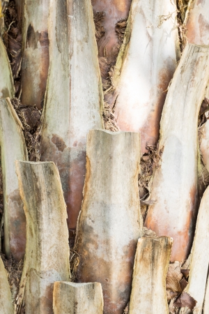 Palm bark with brown texture