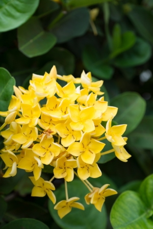 Yellow Ixora coccinea and green leaf Stock Photo