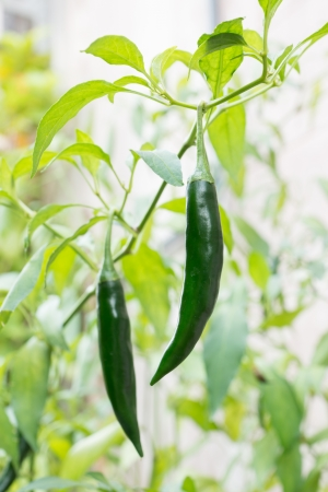 Green pepper in the vegetable garden.