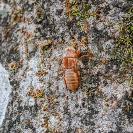 Closeup brown cicada holding on the tree