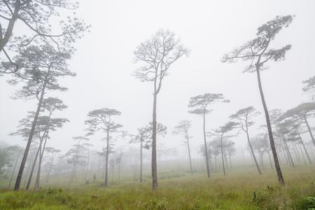 dao: Pine forest with mist on Phu Soi Dao National Park, Uttaradit Province, Thailand
