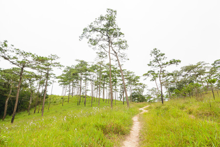 soi: Walkway in the pine forest on Phu Soi Dao National Park, Uttaradit Province, Thailand
