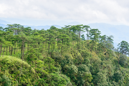 soi: Pine forest in the morning on Phu Soi Dao National Park, Uttaradit Province, Thailand Stock Photo