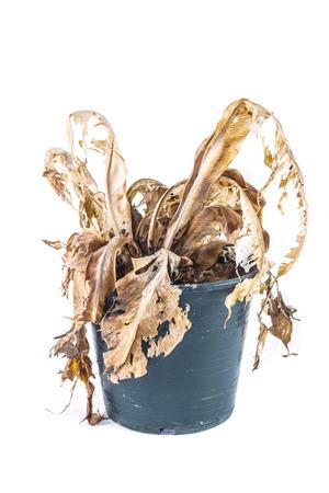 arboles secos: Seca �rbol muerto aisladas sobre fondo blanco