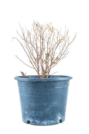 dode bladeren: Dode boom droog op een witte achtergrond
