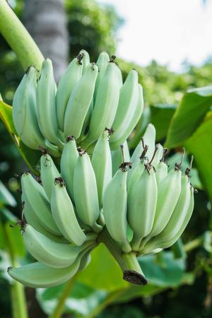 Banana tree with a bunch of green bananas Stock Photo