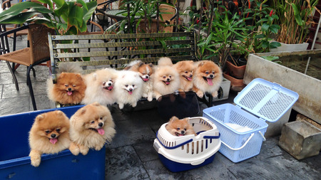 pomeranian dog are smiling