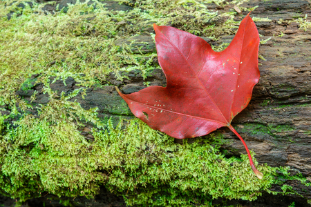closeup red maple leaft and green moss in the forest Stock Photo