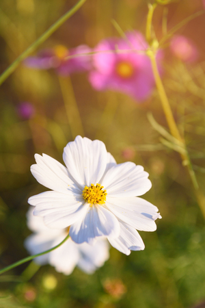 closeup cosmos flower are blooming on the garden Stock Photo