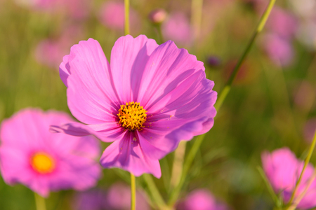 closeup cosmos flowers are blooming on the garden