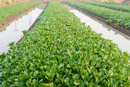 Chinese cabbage (bog choy) vegetable farm field in the morning Stock Photo