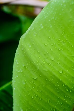 close up detail and texture of banana leaf with drops Foto de archivo
